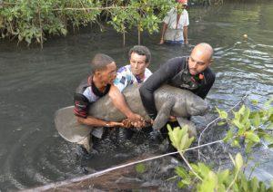 Manatí rescatado en Puerto Plata en estado de recuperación
